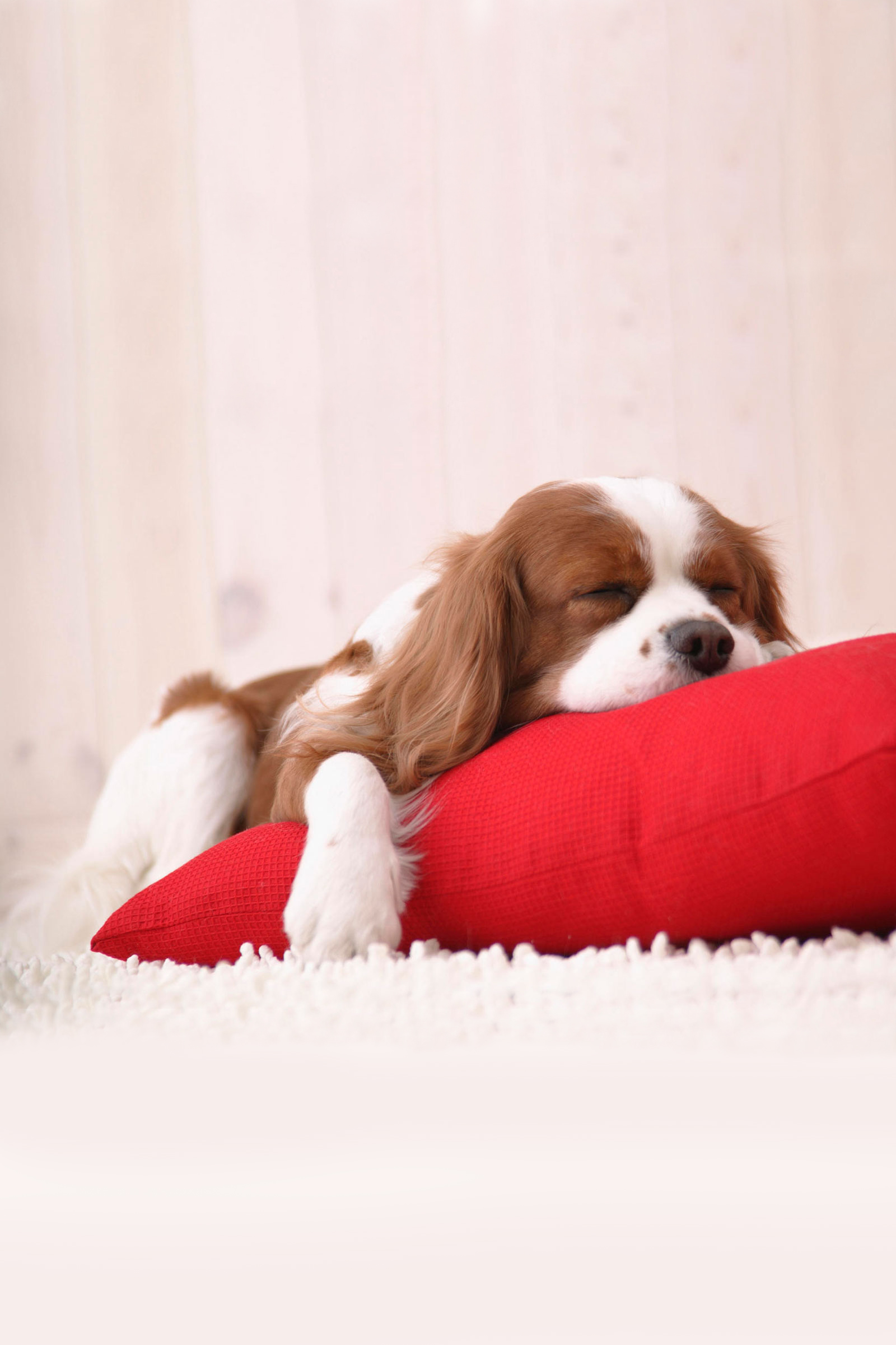 Cute Dog Sleeping Android Wallpaper