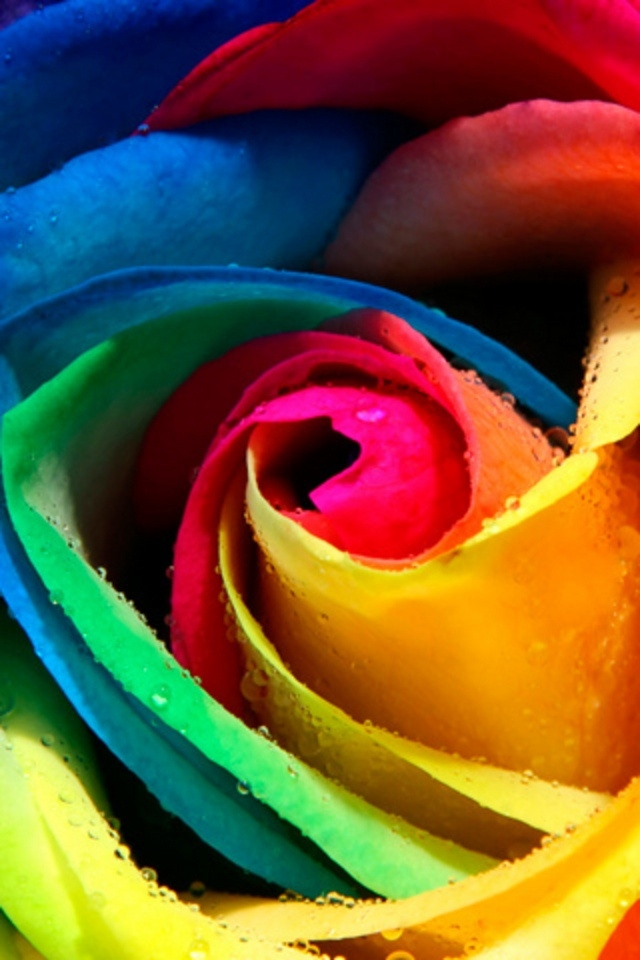 Flower rainbow rose android wallpaper for How to color roses rainbow
