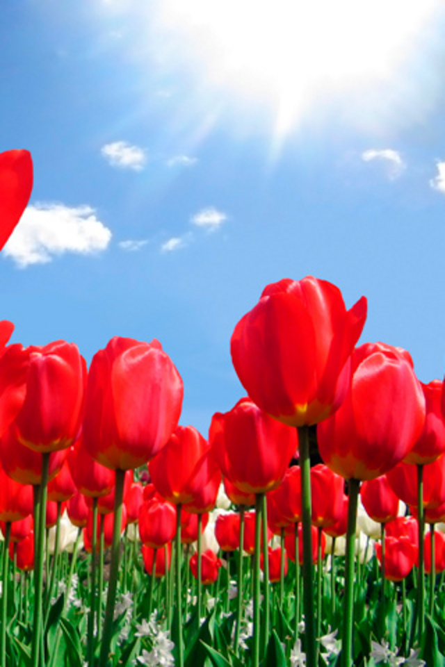 Flowers Wallpapers Red Tulips Flowers Wallpapers Dream Garden HD