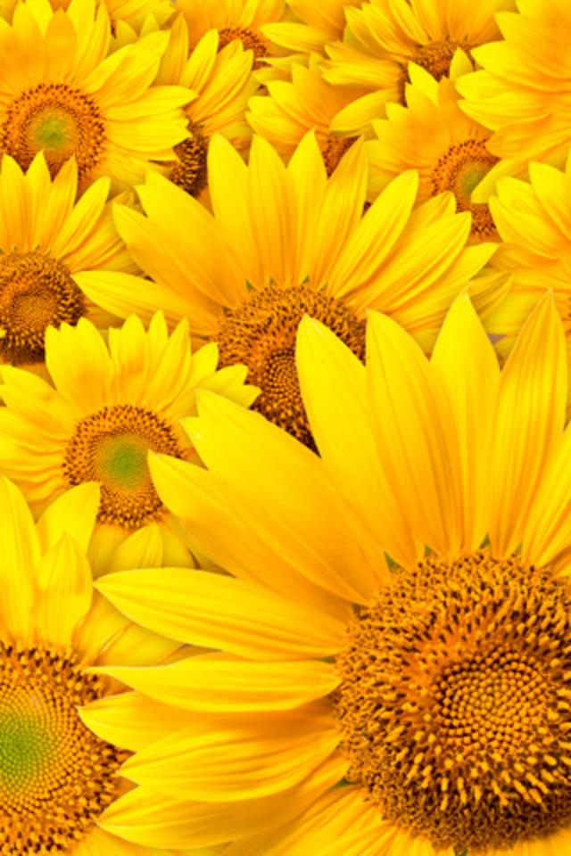Flower Sunflower Field Android Wallpaper